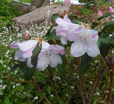 Rhododendron Princess Alice